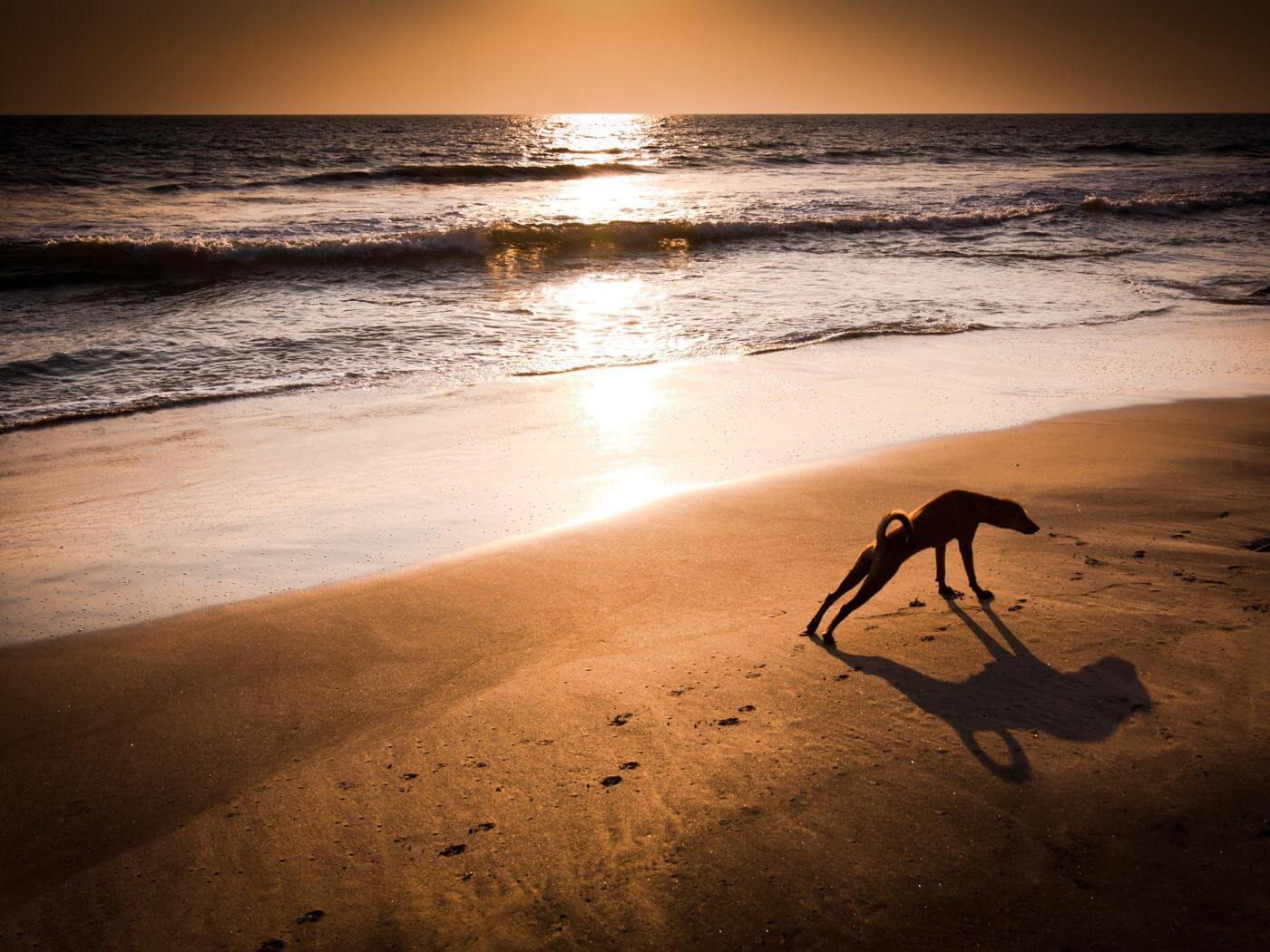 Concept idea of dog yoga. Dog in yoga position Urdhva Mukha Svanasana (Upward Facing Dog) at tropical beach under evening sun. India