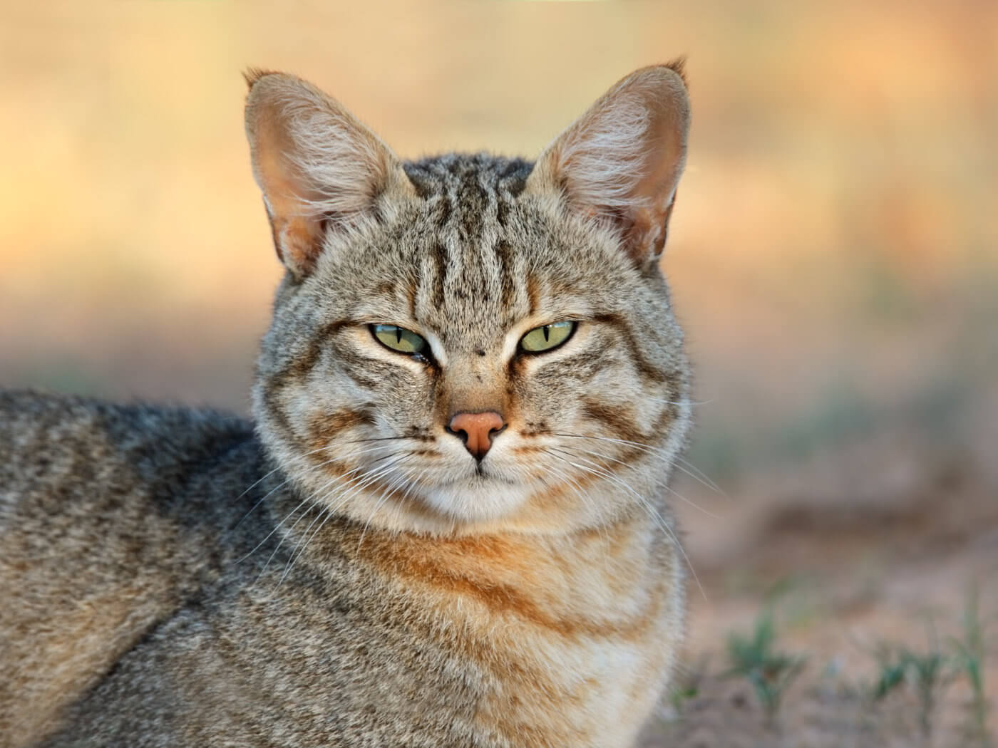 Portrait of an African wild cat (Felis silvestris lybica), Kalahari desert, South Africa